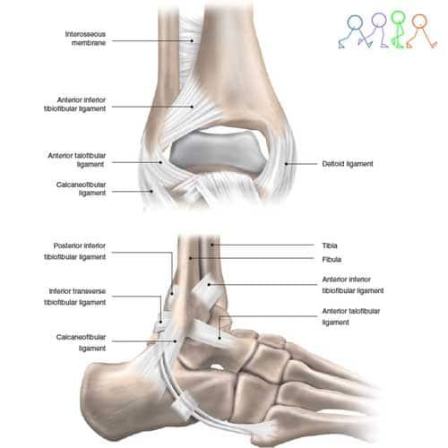 กายวิภาคข้อเท้าแพลง